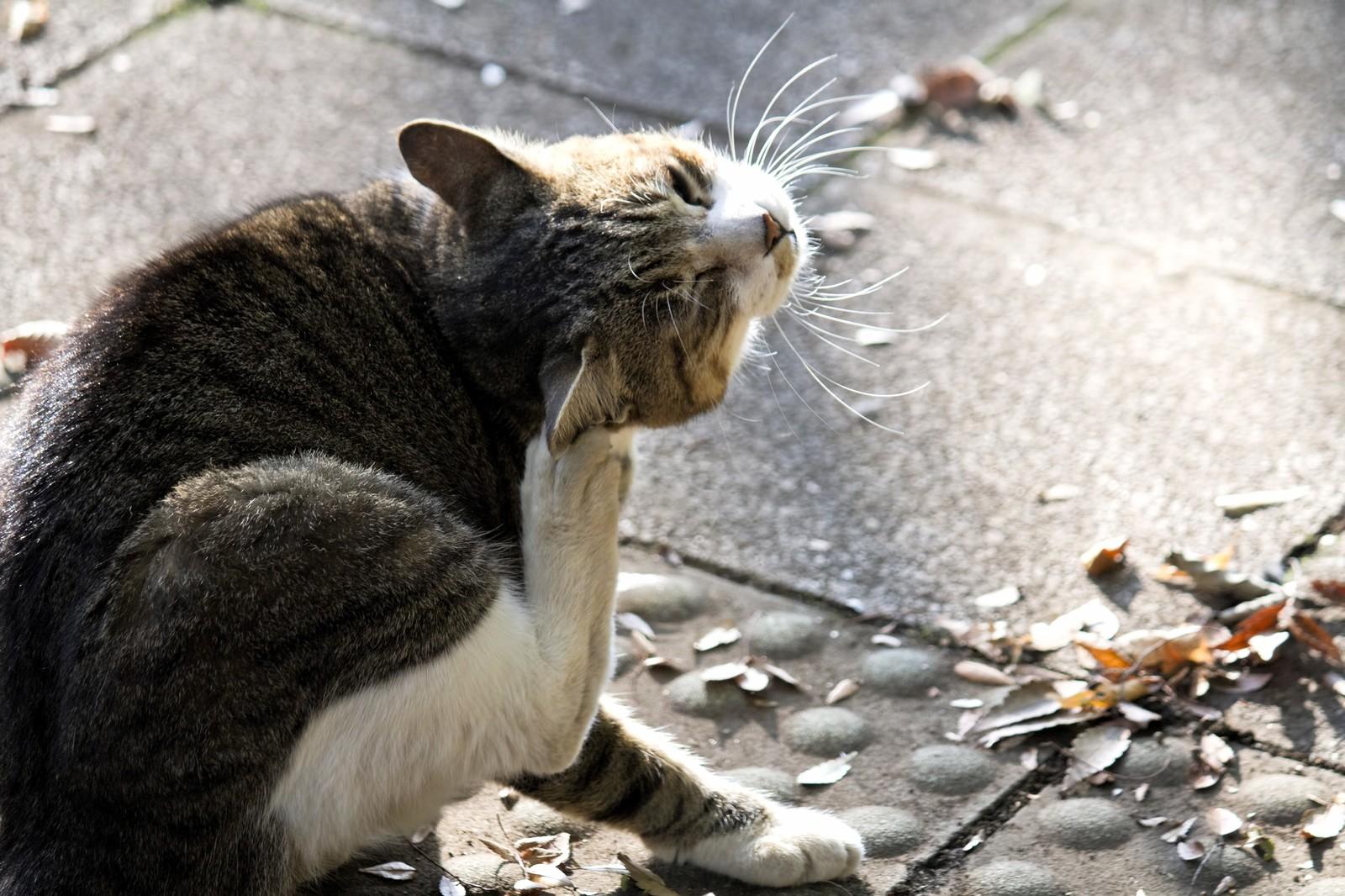 痒くてかわいそう…猫の皮膚アレルギーの原因と症状、対策について